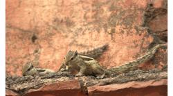 Téměř všudypřítomné veverky