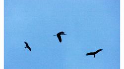 Možná to tak nevypadá, ale draví ptáci toho čápa nelovili