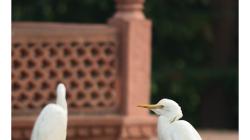 Volavky v zahradě Taj Mahalu