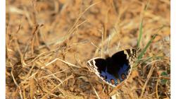 Motýli v Indii jsou kapitola sama o sobě