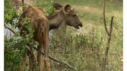 Orchha - pravděpodobně jediná laň v národním parku