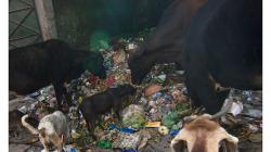 Varanasí - tohle smetiště otevřeli před naším hotelem, hned se tam nahrnuly krávy, kozy, psi...