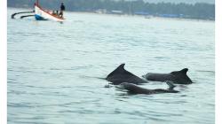 Goa - delfíni