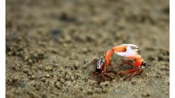 Goa - malí krabi s obřím klepetem