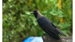 Goa - vrány byly taky otravné