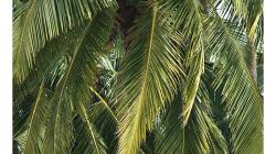 Goa - Palolem Beach - shazovač kokosů