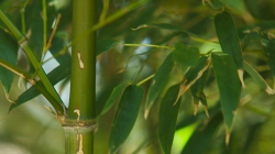 Canon Zoom 2011 - bambus