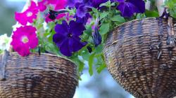 Květináč Petúnií