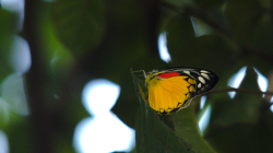 První lapený motýl