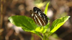 Jeden z thajských motýlů