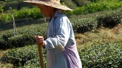 Práce na čajových políčkách