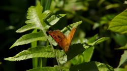 Jeden thajských motýlů