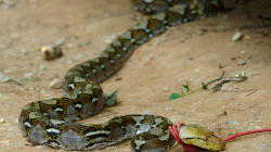 Po návratu do Akha nás čekalo překvapení - místní lovec ulovil hada