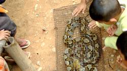 Ulovený had se bude pár dní či týdnů vykrmovat kuřaty a pak půjde do polévky