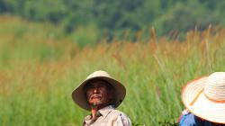 Práce na čajových polích