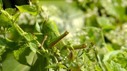Téměř veškerý thajský hmyz je velký, kobylka měla ku 10cm