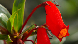 Thajská květena, Rechsteineria cardinalis