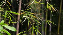 A zase ty bambusy