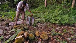 Sběrač durianu / Durian harvester
