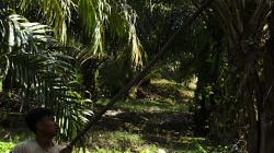 Sklizeň palmového oleje / Palm oil harvest