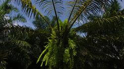 Olejová palma / Palm oil tree