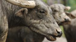 Buvol / Buffalo
