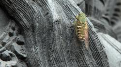 Cíkáda, co řvala hůře než kráva / Extremely loud cicada
