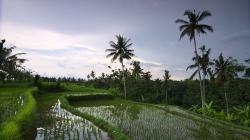 Rýžové políčka / Rice fields