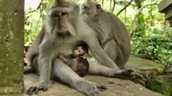 pijící opicos / drinking monkey
