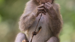 malá opicos / young monkey