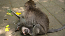opicos / monkey