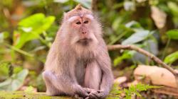 meditující opicos / meditating monkey