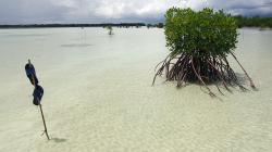 Mangrovy / Mangroves