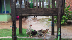 Ne každá slepice je hloupá a zmoklá / Not every chicken is stupid and wet