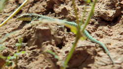 Ještera / Lizard