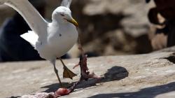 Racek / Seagull