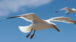 Rackové / Seagulls