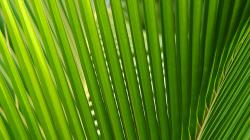 Palmové listí / Palm leafs