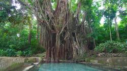Sto let starý / Century Old Balete Tree