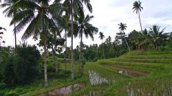 Rýžové pole / Rice field