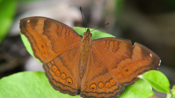 Létavec / Butterfly