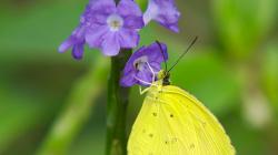 Létavec žlutý / Yellow one