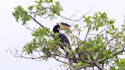 Zoborožec - Hornbill