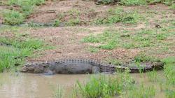 Krokodýl - Crocodile