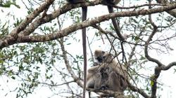 Opicos - Monkeys