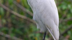 Volavka - Heron