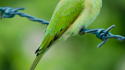 Vlha - Bee eater