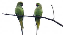 Papouchové - Parrots