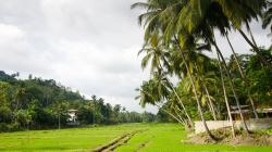 Rýžové pole - Rice field