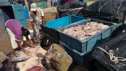Nakládaní ryb do soli - Preservating fish with salt